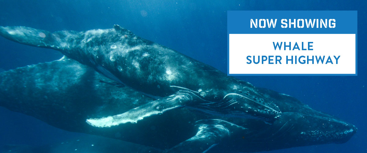 An image of a whale swimming is partially covered by a text banner reading 'Now showing Whale Superhighway'