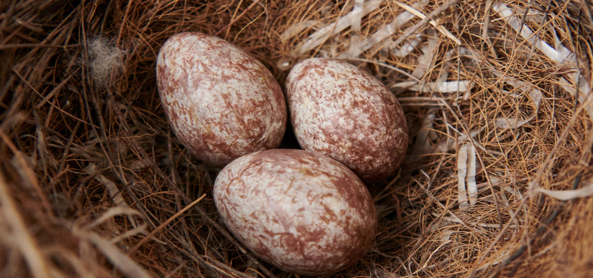 Three eggs in a large nest